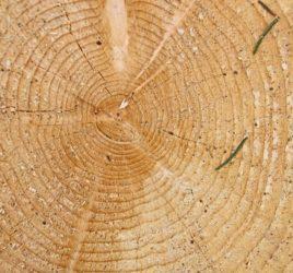 Holzquerschnitt