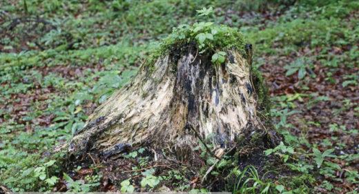 Moderfäule an einem Baumstumpf